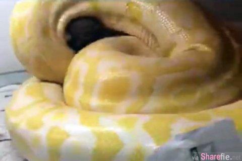 大陆男子拿贵宾狗「餵食」黄金蟒  7秒影片网络疯传 网友:人渣!肉搜出来捉去餵蛇