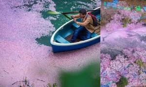 春日绽放的那一刻!国家地理杂志精选17张最美日本樱花季照片