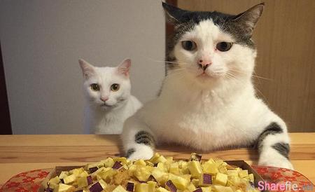 """这两只猫咪看着眼前的美食诱惑 露出的 """"眼神死"""" 让人超疗愈"""