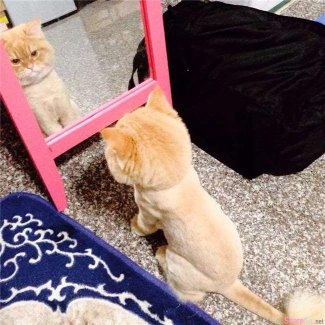 他们把家里猫咪带去美容 结果被修成这个模样 网友:好像脱到一半的衣服