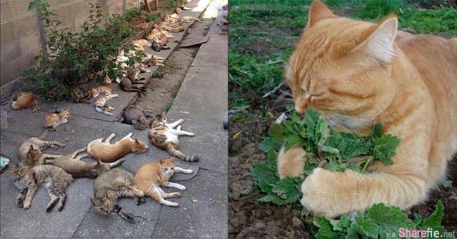 居民为了驱虫而种了这种叶子,没想到隔天竟引来一群猫星人high到不行
