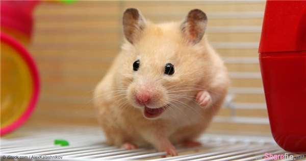20只小仓鼠被拍到的超可爱表情动作