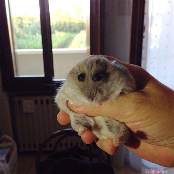 20只小仓鼠被拍到的超可爱表情动作 看到第一只已默默