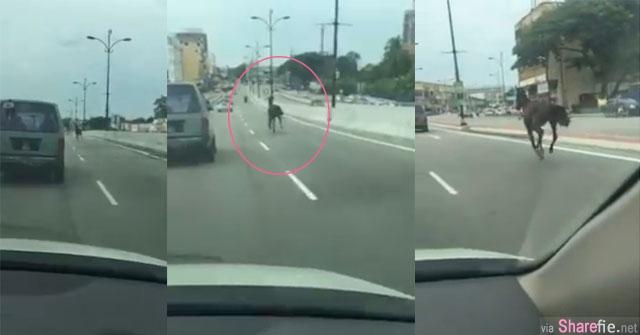 续鸵鸟 chickaboo 后,又有动物在高速公路奔跑  网友:以为放动物跑马路就会红!