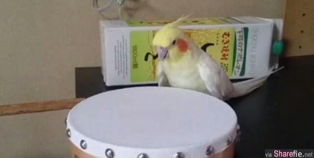 这只鹦鹉一见到铃鼓 立即秒变身为啄木鸟
