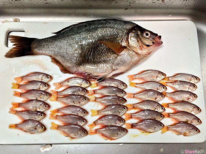 她买了一只鱼回家后才发现鱼肚「特别肿」,当她大力一压才发现有赠品