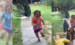 小女孩被开屏孔雀狂追吓得落荒而逃…照片意外爆红引起网友P图恶搞