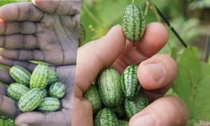 世界上最小的「西瓜」跟葡萄差不多大,切开后里面却又不像西瓜