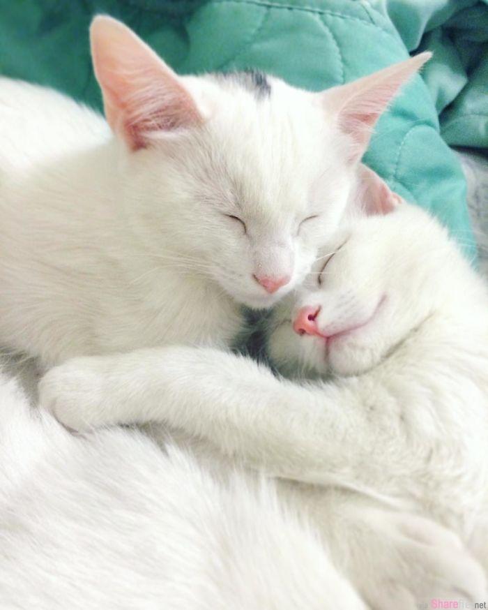 这一对双胞胎猫咪 超美的异色瞳让猫奴快被融化了