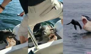 惊险! 这只小海豹遭一群杀人鲸下「猎杀令」危急间它选择跳上人类的船