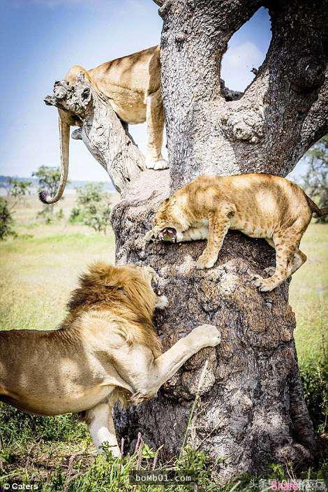 狮子吓得全都躲在树上,它们的天敌竟然是小孩都不怕的。。。