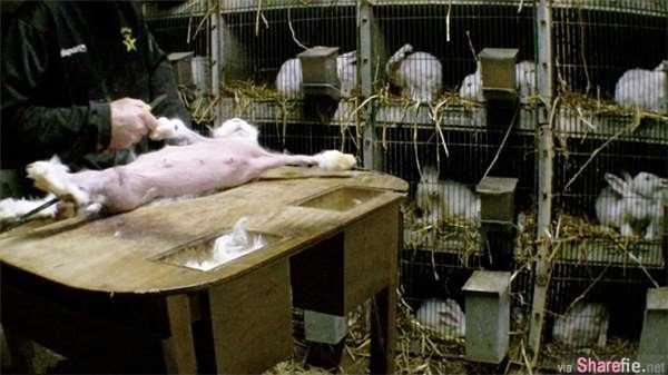 太残忍,法国惊现黑心兔农「活剥」安哥拉兔毛  不理兔子哀嚎 全身毛几乎被拔光
