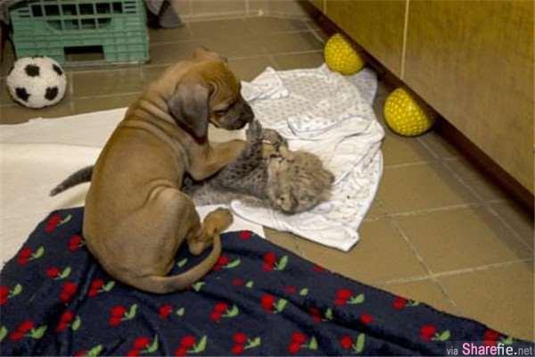 这只小猎豹被妈妈遗弃 ,动物园找来了一只小狗狗与它作伴,  它们一起长大后再也分不开了