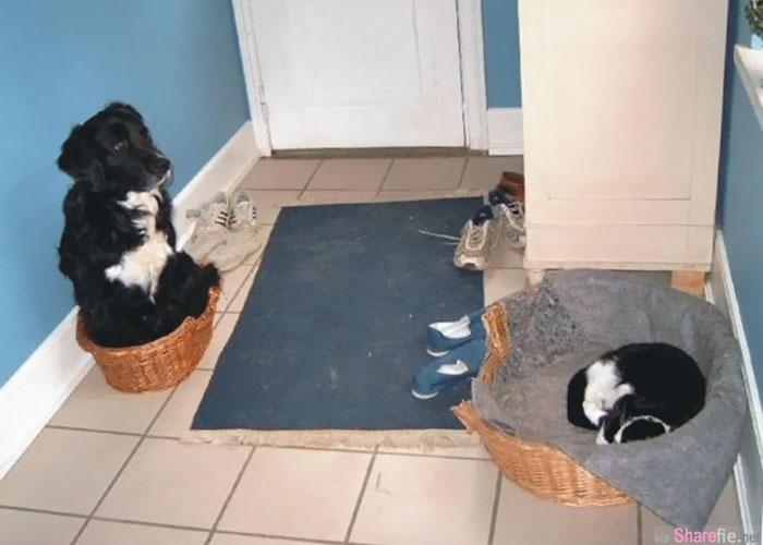 19张睡床被强行霸占 让狗狗气到但又无可奈何的霸凌事件