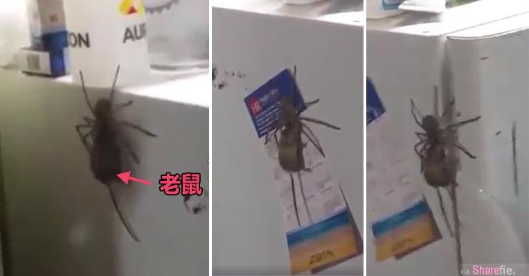 吓人画面!网上疯传一长脚蜘蛛叼老鼠四处趴趴走