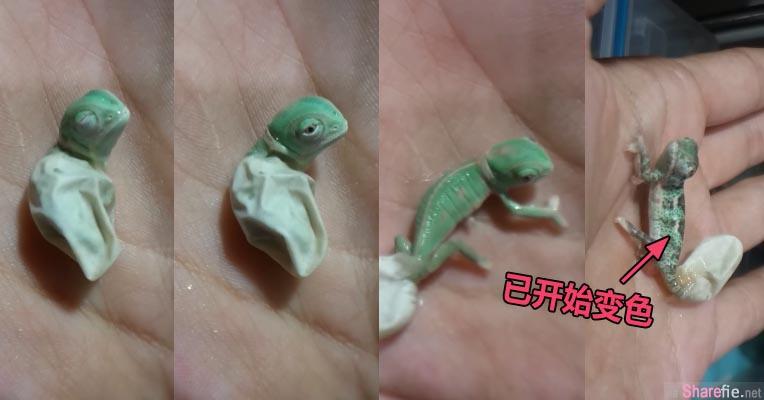 这只变色龙宝宝被拍下破蛋而出的过程,当牠一接触人类的手掌 身体立即使出拿手绝活「变色」