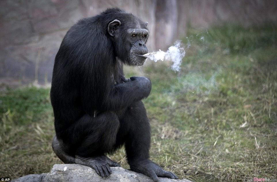 北韩动物园竟然训练黑猩猩抽烟! 如果没有打火机,它还能这样点燃香烟