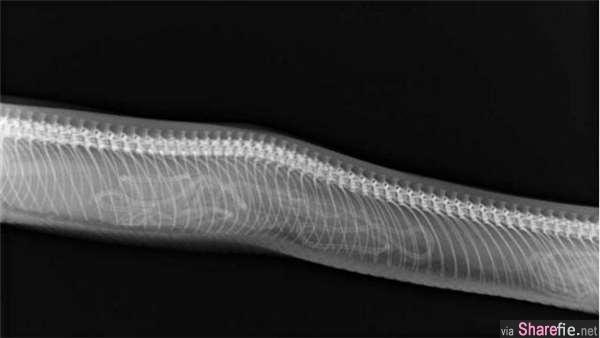 17张动物怀孕X光照,看了母鲨鱼的肚子整个被吓傻 真的假的?