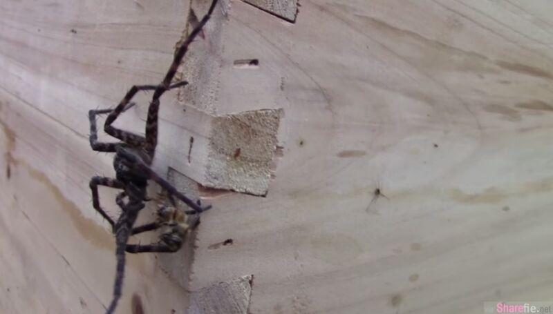 这只大蜘蛛胆敢在蜜蜂地盘上咬死蜜蜂 等着它的下场只能用死状恐怖来形容