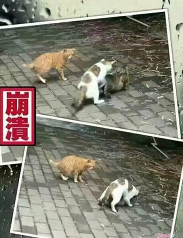 这只可怜的猫先生有天撞见「老婆噼腿」,崩溃瘫痪的倒在路边: 难受想哭