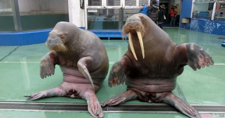 这两只海象竟然学会PPAP  可爱的「插苹果」动作让已听腻的网友嘴角不争气的上扬了