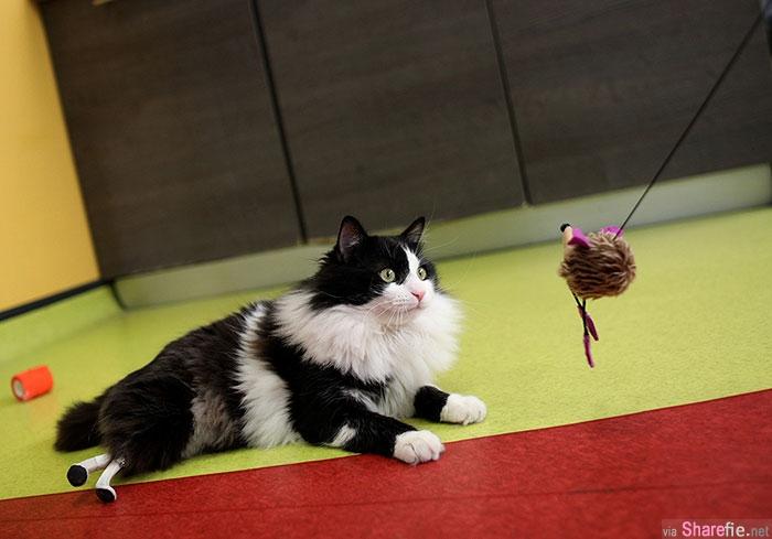 这只被火车撞断两条后腿的黑白猫装上义肢,行动自如的它终于重获新生(有视频)