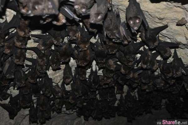 科学家翻译「蝙蝠」的叫声,发现牠们居然都在讨论「这些事」...