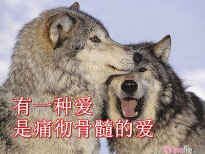 狼的爱情——痛彻骨髓的爱