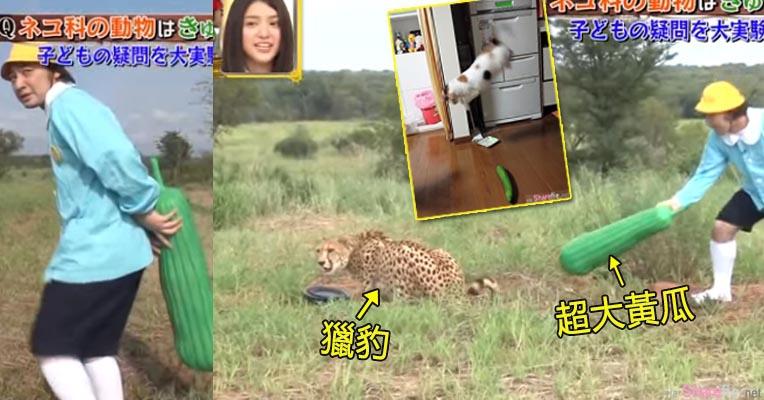 网传黄瓜放身后猫咪会被吓一跳 日本节目将它搞大 拿大黄瓜吓「猎豹」结果让人超惊奇