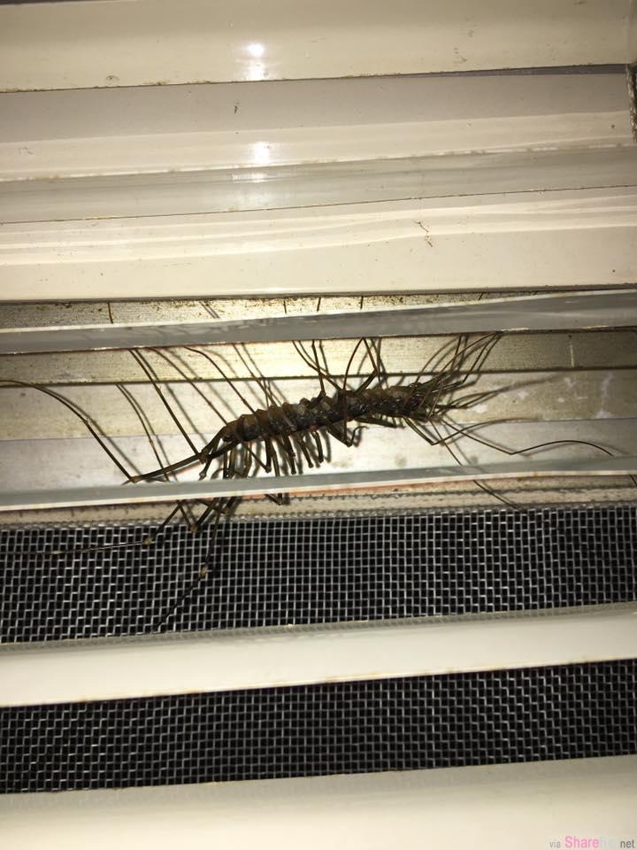 他发现家中窗边有条异物的触鬚在动 走近一看差点被吓晕  网:宁愿看见小强