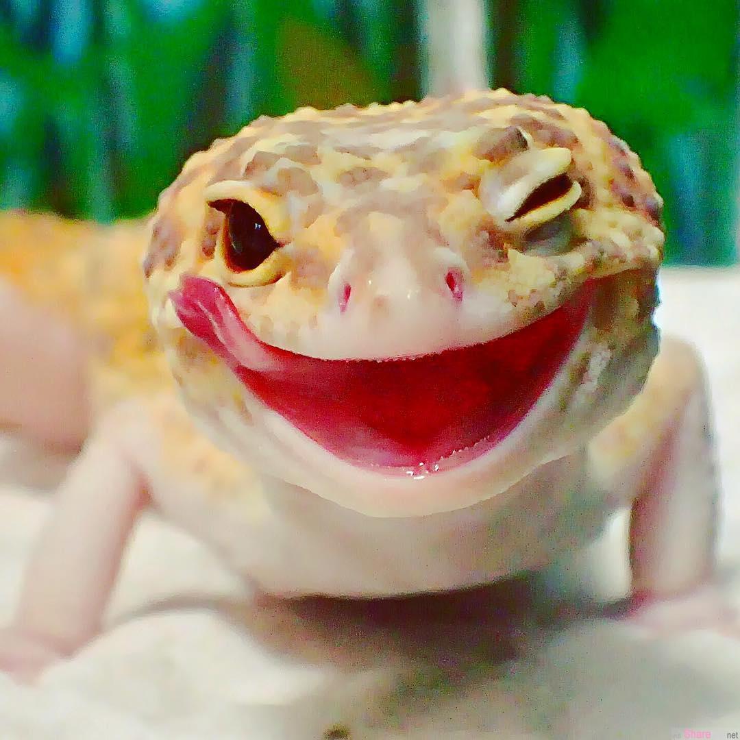 这只琥珀色壁虎见到迷你型的自己 露出的笑脸会让人心情变好好