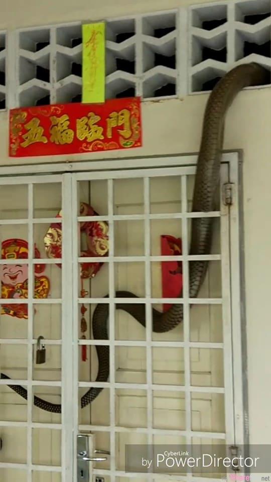 大马艺人惊见巨型眼镜蛇爬入屋后消失无踪,以为跑了,没想到3天后...