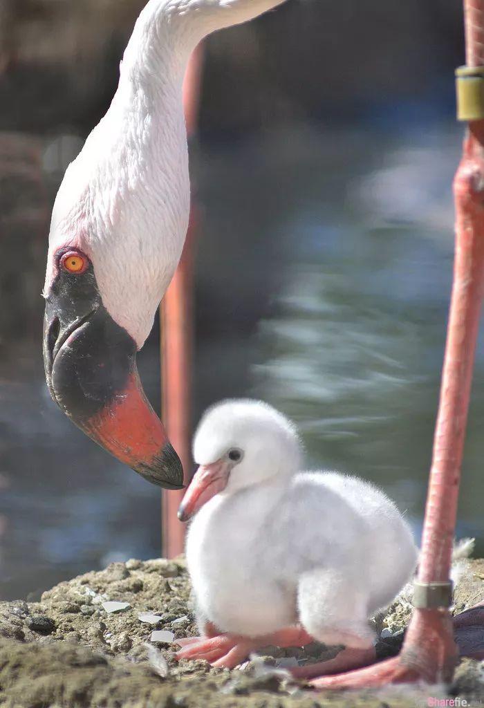 「红鹤宝宝」照片大曝光...原来小时候它们的脚丫子是这样子的(多图)