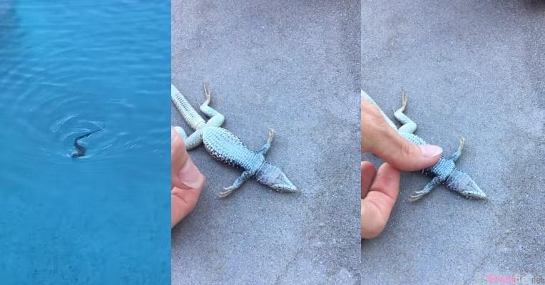 她用CPR抢救一只溺水的蜥蜴,看到蜥蜴的这个动作网友都哭了