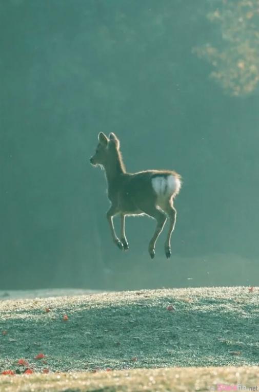 日本摄影师拍到「漂浮小鹿」,超萌的瞬间让网友忍不住恶搞:小鹿乱飘