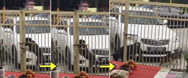 超厉害狗狗回家懂得自己开门,影片爆红意外发现拍摄的是正妹