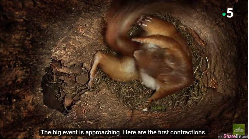 隐藏摄影机拍下松鼠妈妈一个接一个生下四只可爱小松鼠,生完后的妈妈已累到不行