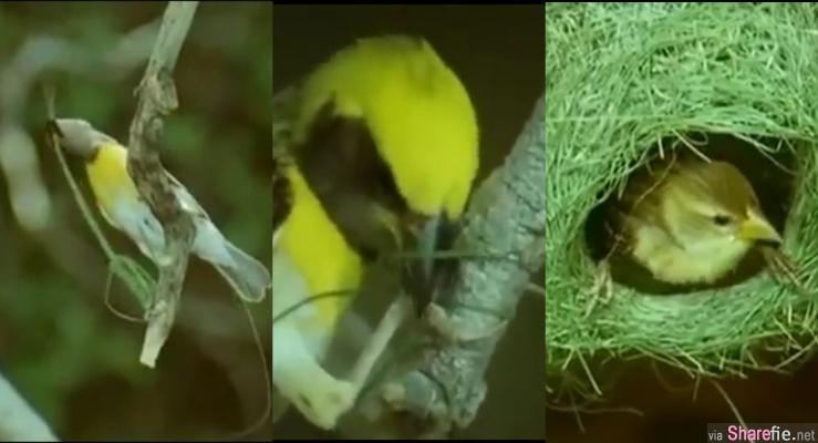 这只鸟从第一根草,一根一根慢慢筑巢,看到最后成品出炉网友震撼过程超美妙