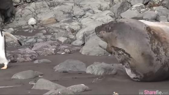 原来不是石头!海豹遭企鹅践踏秒吓醒,痛到嘴巴开开啊!啊!啊!